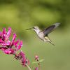 Humming bird with flower 1